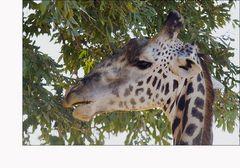 Thornicroft-Giraffe #02