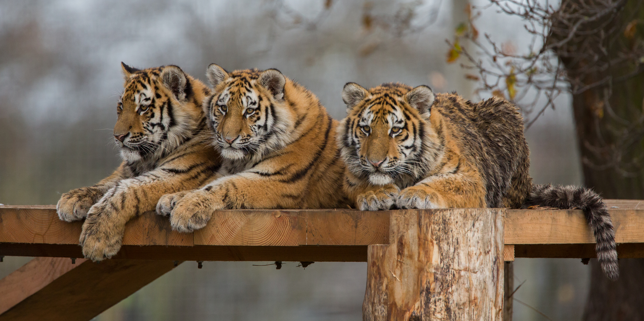 three amur tiger cubs