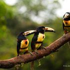 Three aracaris toucans