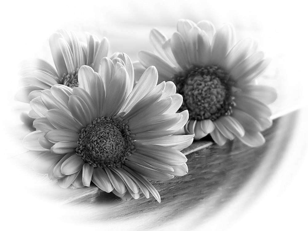 Three gerbera flowers