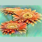 Three large flowers of gerbera
