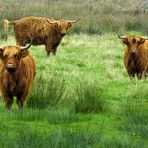 Three Scottish cows