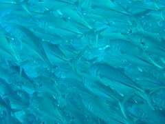 THROUGH BALL OF FISH