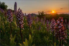 ~ Thüringer Orchideenlandschaft ~
