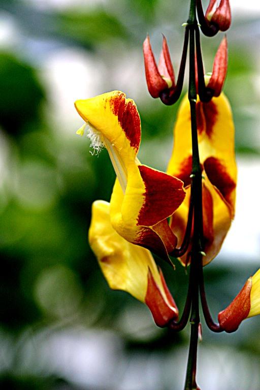 Thunbergia myxsorensis