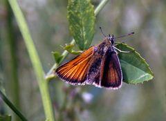 Thymelicus lineola - Schwarzkolbiger Braun-Dickkopffalter, bei dem mir...