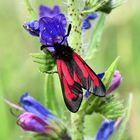 Thymian Widderchen (Zygaena purpuralis Komplex)
