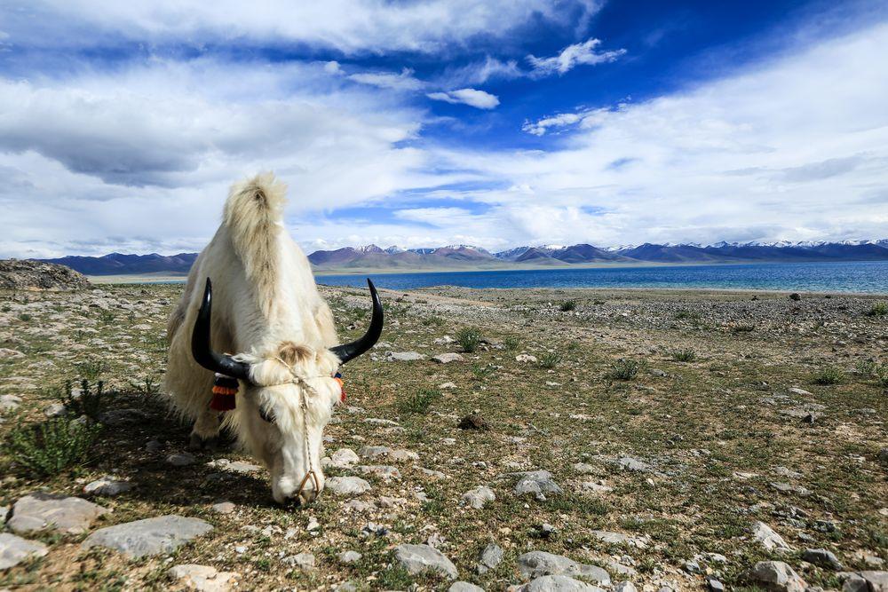Tibet (67)- Yak