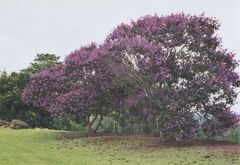 Tibouchina Lepidota Alstonville Colombia