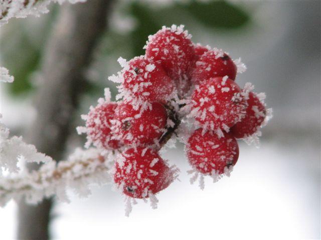 tiefgefrorene Beeren