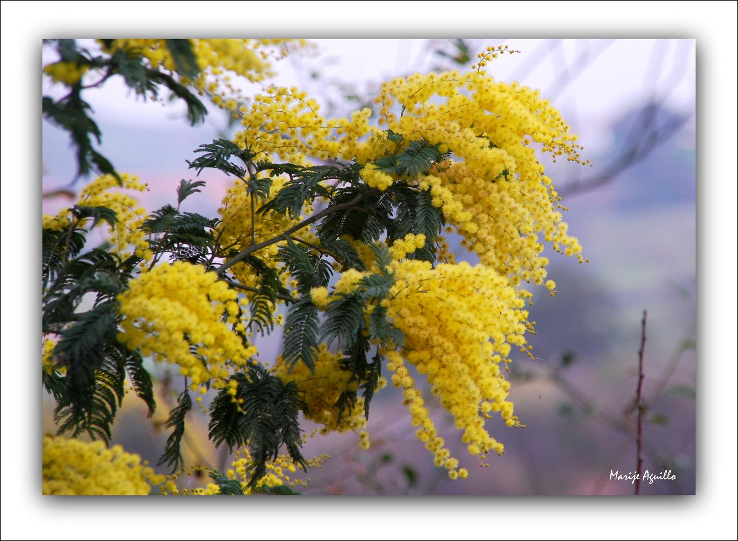 Tiempo de mimosas