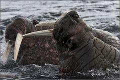Tiere der Arktis...