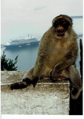 Tiere,Gibraltar Affenfelsen
