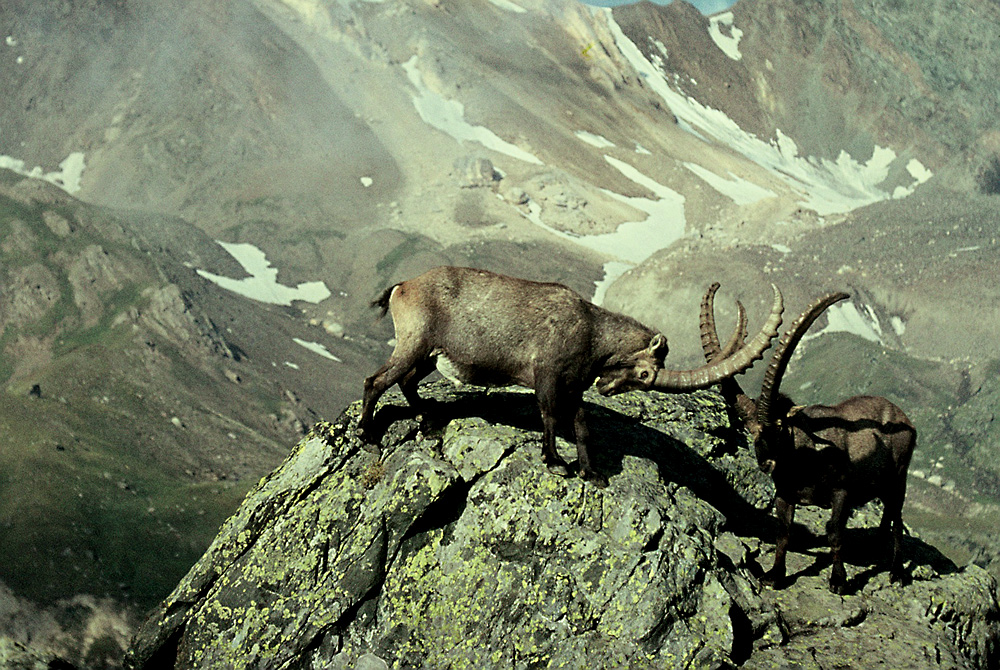 Tierfotografie 1967: Steinböcke am Gran Paradiso  für Steinbockfreund Bergjäger