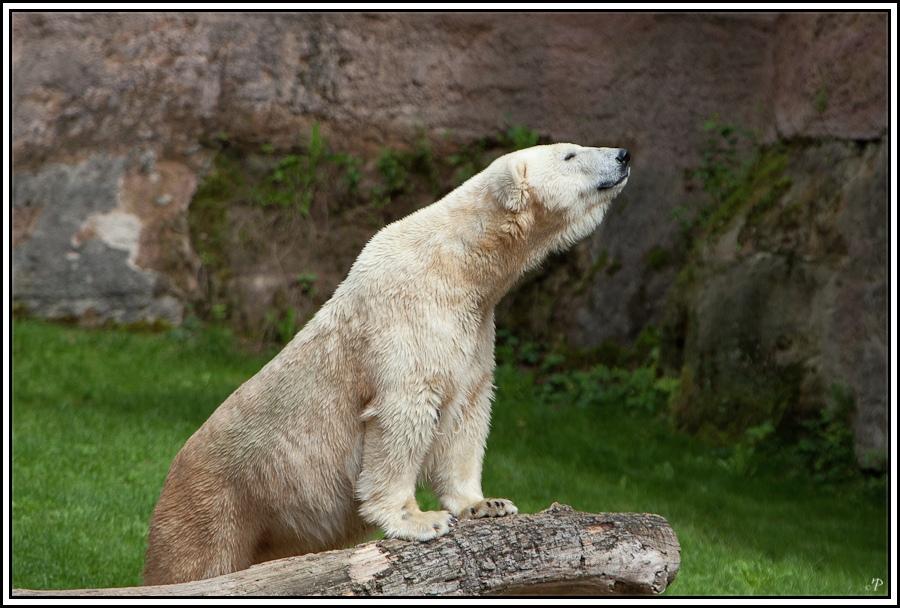 Tiergarten Nürnberg, Eisbär 3