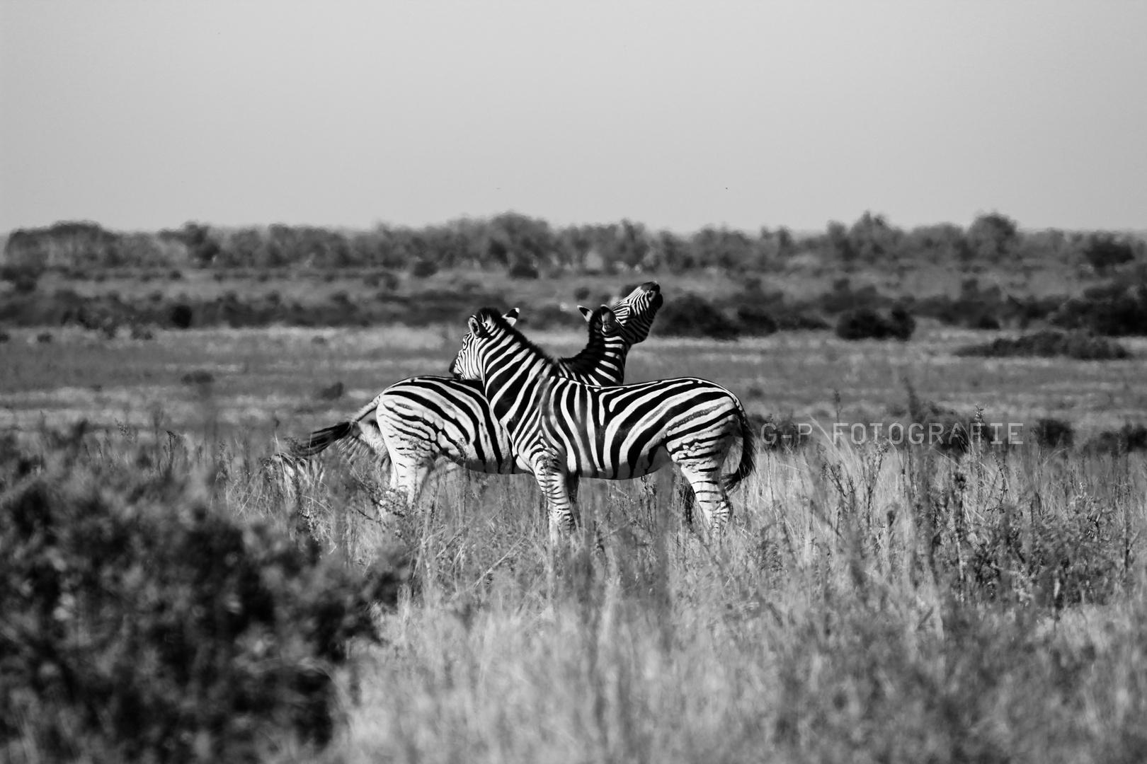 Tierisch verliebt | Addo NP; Südafrika | Zebra
