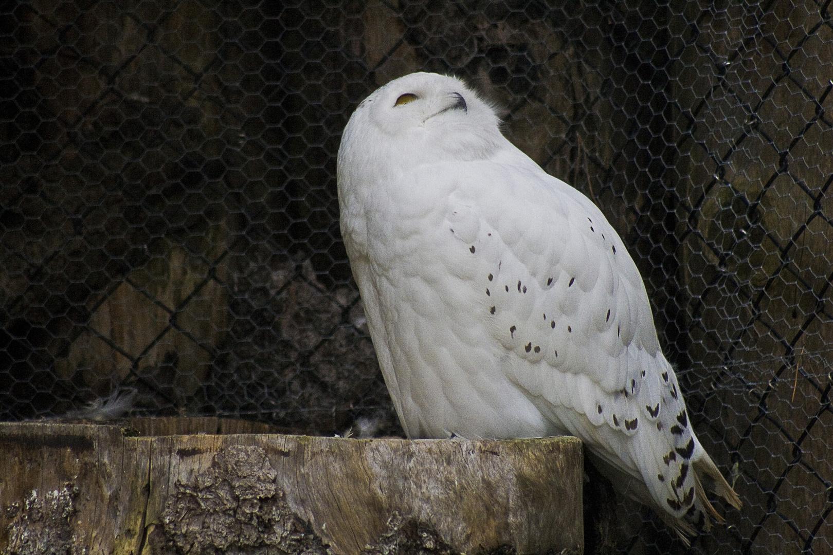 Tierpark Goldau, Schneeeule