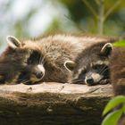 Tierpark Goldau, Waschbären