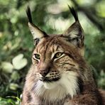 Tierpark Lange Erlen, Nordluchs (Lynx lynx) 015