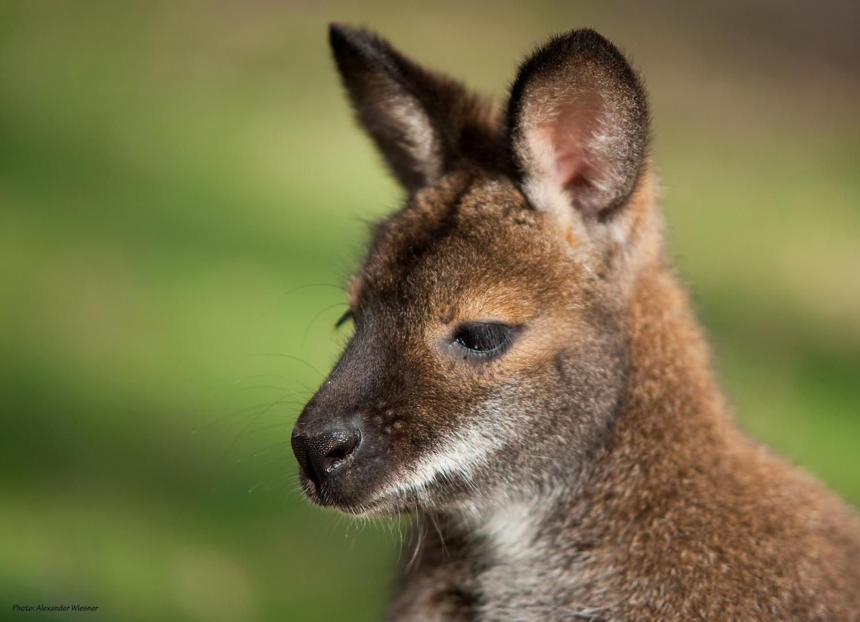Tierpark Sababurg - Känguru