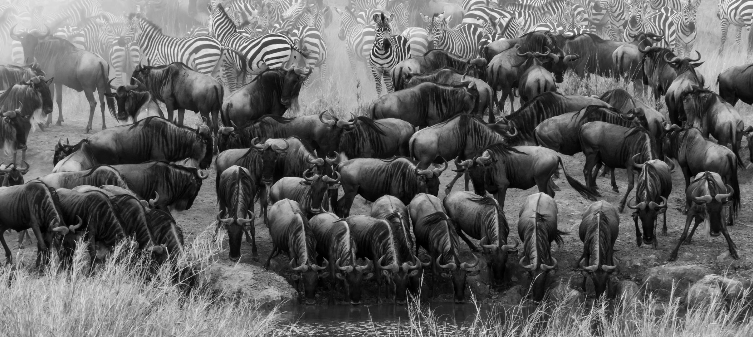 Tierwanderung...ein Naturwunder