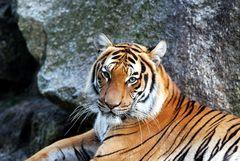 Tiger (02)