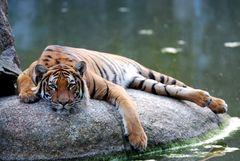 Tiger (03)