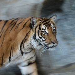Tiger (04)