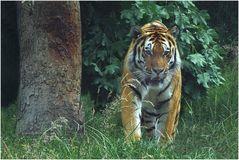 Tiger (1) Zoo Neuwied