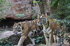 Tiger 2 Brüder