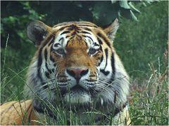Tiger (2) Zoo Neuwied