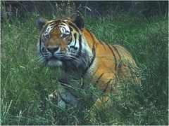 Tiger (3) Zoo Neuwied