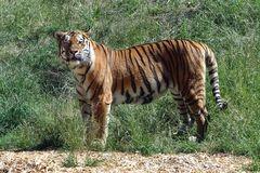 Tiger (4) Neuwieder Zoo