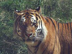 Tiger (5) Neuwieder Zoo