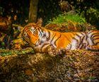 _Tiger_