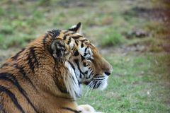 Tiger Aljoscha