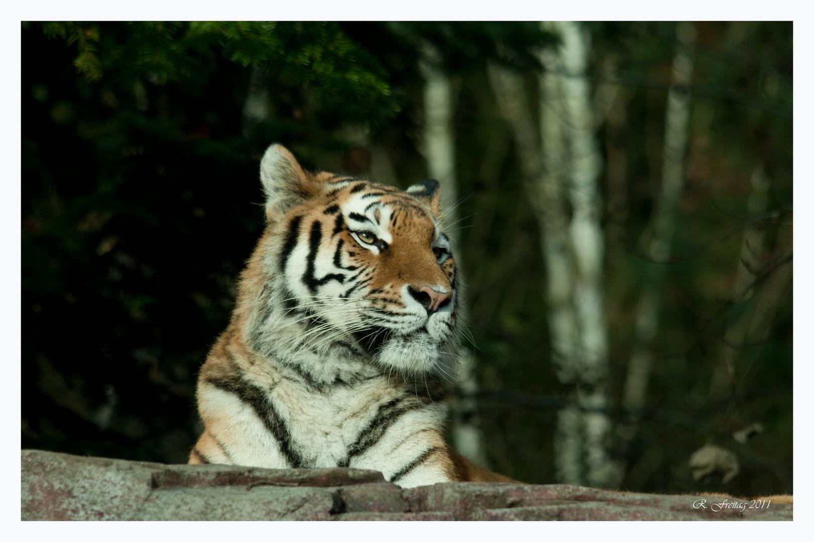 Tiger am frühen Morgen