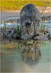 Tiger am Wasserloch