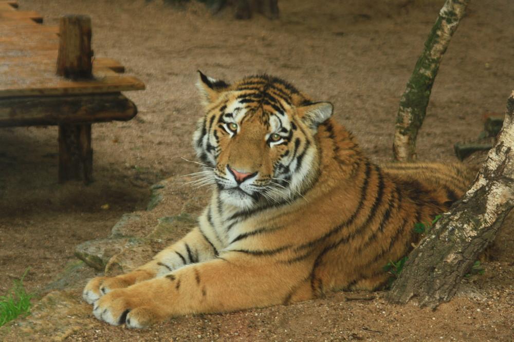 Tiger, Amneville Zoo, Frankreich