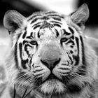 Tiger at West Midlands Safari park