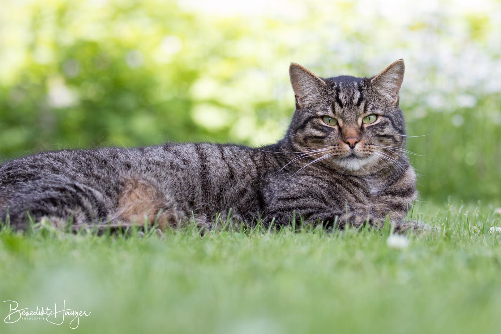 Tiger auf dem Rasen