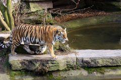 Tiger auf der Pirsch