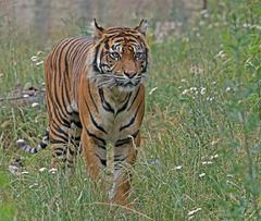 Tiger auf Wiese
