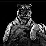 ...::: Tiger BW :::...
