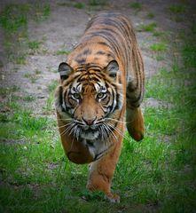 Tiger coming