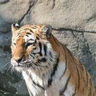 Tiger - Cooling off 02