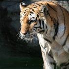 Tiger-Cooling off