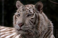 Tiger Dame