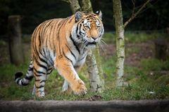 Tiger der seine Runde macht