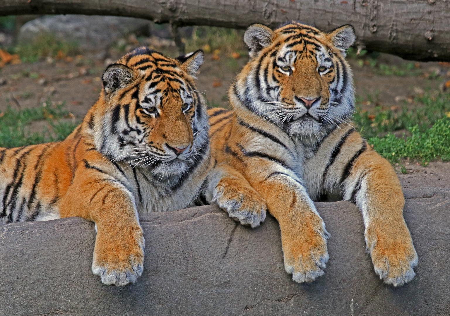 Tiger Duo